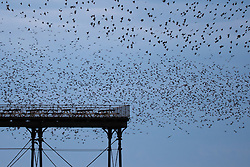 © Licensed to London News Pictures. 31/12/2016. Aberystwyth, Wales, UK. Thousands of starlings flying in to roost on the seaside pier after sunset in Aberystwyth on the last day of the year - - the weather in the west has been clear, in sharp contrast to the thick fog covering much of south east England. Photo credit: Keith Morris/LNP