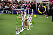 New York, NY - 8 February 2014. A handler guides her dog through weave poles at the Westminster Kennel Club dog show. Behind the weave poles is a ring the dog has jumped through.