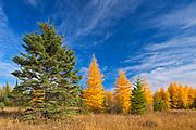 Eastern larch / tamarack (Larix laricina) in autumn color<br />Morson<br />Ontario<br />Canada