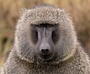 Portrait of the savannah baboon (Papio anubis) from Maasai Mara, Kenya.