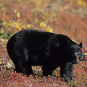 Black bear adult on tundra during aurumn in Denali National Park, Alaska.