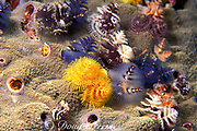 multi-colored radioles or branchiae ( gills ) of Christmas tree or serpulid worms, Spirobranchus giganteus, Thailand<br /> ( Andaman Sea, Indian Ocean )