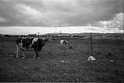 24/09/1963<br /> 09/24/1963<br /> 24 September 1963<br /> Brittain's new site at the Long Mile Road, Dublin. View of cattle still on the site as construction gets underway and bulldozers level then site in background.