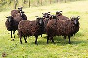 Hebridean sheep in field, Sutton, Suffolk, England, UK