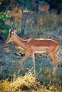 Impala in Moremi National Park, Botswana