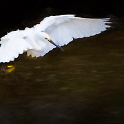 Snowy egret with wings extended descends to black water of mangrove to feed.  Oil glaze effect over original photograph. Photographed at Ding Darling National Wildlife Refuge, Sanibel Island, FL.