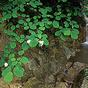 China, Wildflowers, Magnolias growing along stream bank in the Yellow mountains.