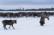 Nenets, reindeer herdsmen, Kánin Peninsula, Russia, Arctic