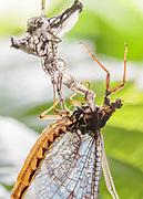 Mayfly imago emerges from moulted skin of sub-imago. Rive Mole, Surrey, UK.