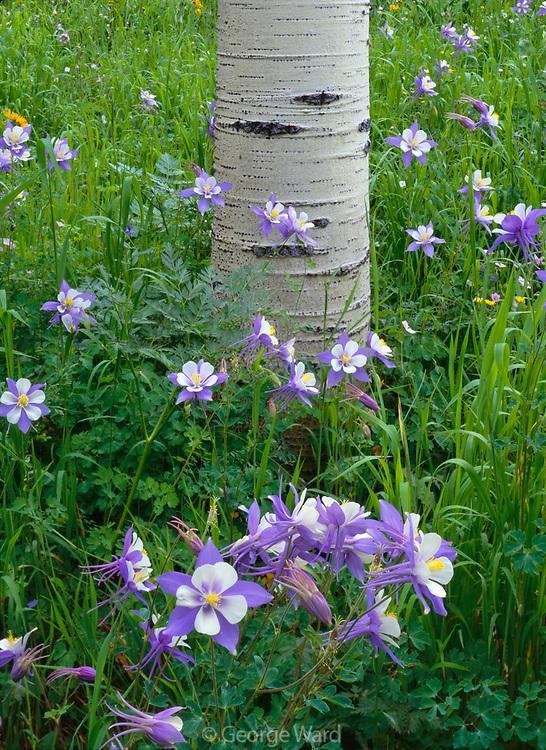 Columbine and Aspen, San Juan National Forest, Colorado