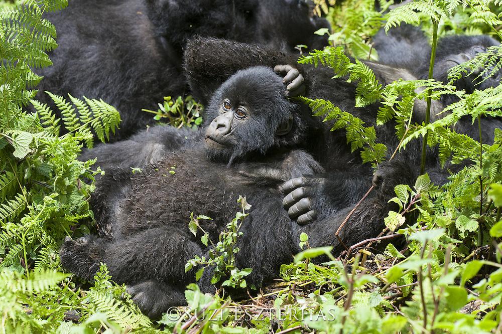 Mountain Gorilla<br /> Gorilla gorilla beringei<br /> Sub-adult resting<br /> Parc National des Volcans, Rwanda<br /> *Endangered species