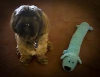 Hoodoo Lhasa apso pet dog poses with his 'bobo'toy