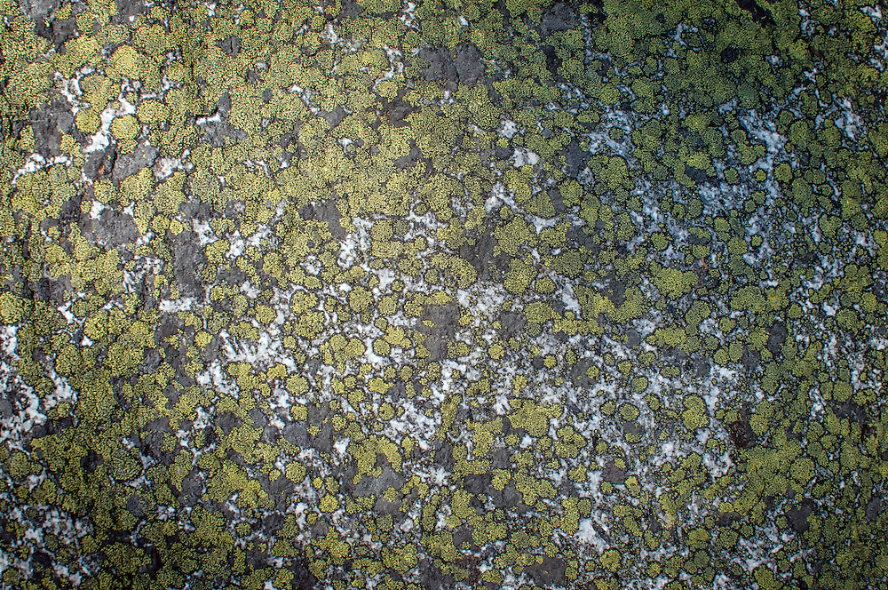 At least two types of crustose lichens cover this rock near Lake Wenatchee in Washington's Cascade Mountains.