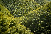 Scenic landscape with view of a green bamboo forest, Mukeng Bamboo Forest, Huangshan City, Anhui Province, China