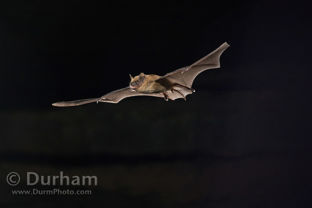 A big brown bat (Eptesicus fuscus) emerging from Wyandotte Cave, Indiana.