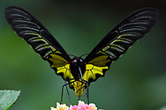 Golden Birdwing butterfly, Troides aeacus, Sheding Forest park, Kenting National Park, Taiwan