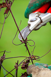 Pruning a clematis just above a bud in winter
