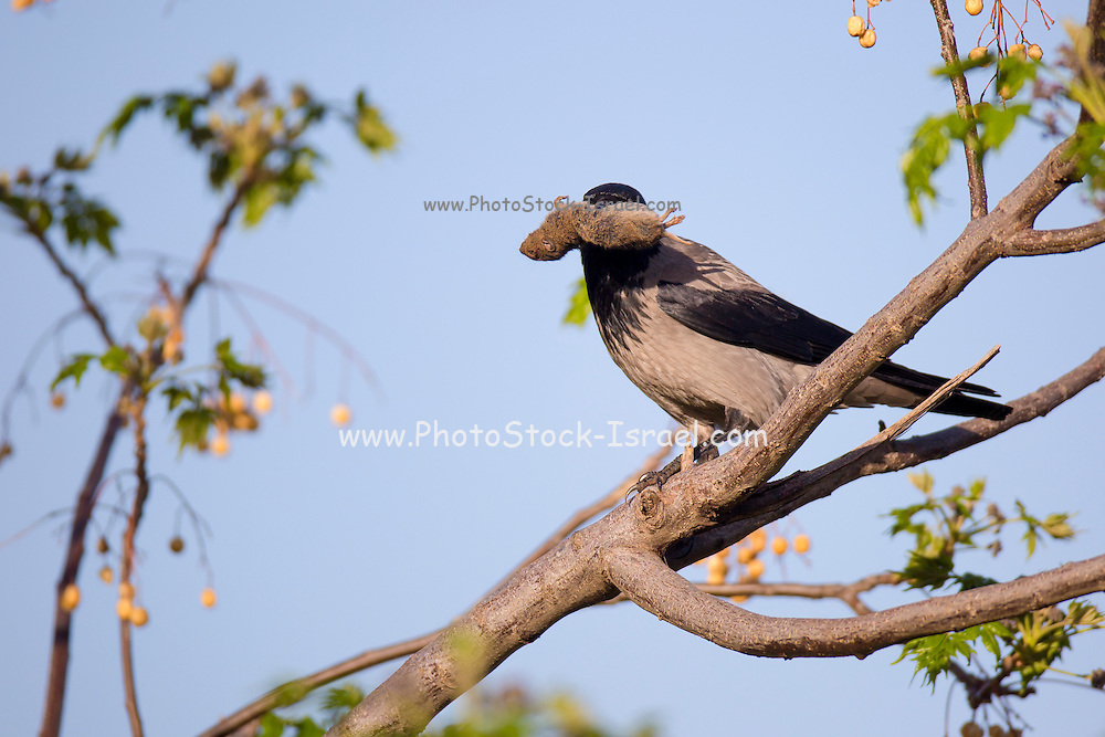 Hooded crow (Corvus cornix) with a mouse in its bill. Photographed in Israel in March