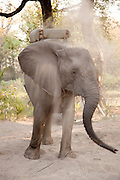 An elephant prepares for an elephant backed safari, popular in the Okavango Delta, Botswana. This enables tourists to move freely and get up close to various african wildlife.
