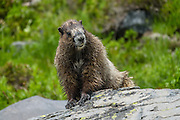 The hoary marmot (Marmota caligata) is the largest North American ground squirrel. Burroughs Mountain Trail, Mount Rainier National Park, Washington, USA. For vigorous training, hike a scenic 10 mile loop with 3200 feet ascent, from White River Campground up Glacier Basin Trail, to Second and First Burroughs, then back via Shadow Lake. Through mid July, be cautious of steep snow below Second Burroughs.