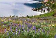 Lupines and Arrowleaf Balsamroot flowers in Kekuli Bay Provincial Park on Kalamalka Lake near Vernon, British Columbia, Canada