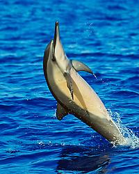 Long-snouted Spinner Dolphin, Stenella longirostris, tail-walking, off Kona Coast, Big Island, Hawaii, Pacific Ocean
