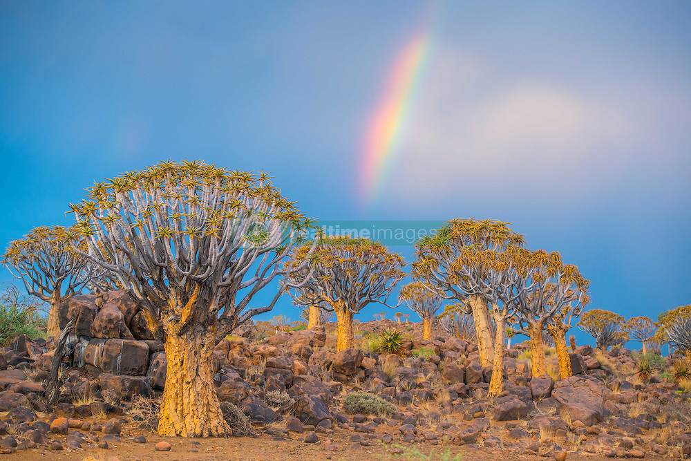 March 3, 2015 - Keetmanshoop, South Africa - Keetmanshoop, Namibia - Quiver tree forest with rainbows overhead in the Playground of the Giants (Credit Image: © Edwin Remsberg/VW Pics via ZUMA Wire)