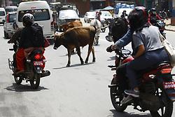May 5, 2018 - Lalitpur, Nepal - Cows wander the streets in Lalitpur, Nepal on Saturday, May 05, 2018. (Credit Image: © Skanda Gautam via ZUMA Wire)