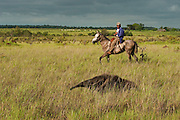 Giant Anteater (Myrmecophaga tridactyla) & Vaquero or Cowboy<br /> Savannah<br /> Rupununi<br /> GUYANA. South America<br /> RANGE: Central and South America