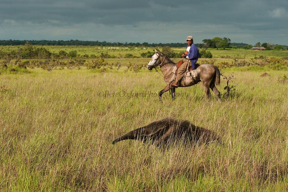 Giant Anteater (Myrmecophaga tridactyla) & Vaquero or Cowboy<br /> Savannah<br /> Rupununi<br /> GUYANA. South America<br /> RANGE: Central and South America