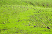 Tilled green crop rows at Sherman-Bishop Farms, in Ebey's Landing National Historical Reserve, on Whidbey Island, Washington, USA.