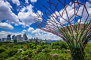 The Supertree Grove and downtown skyline from the OCBC Skyway at Gardens by the Bay, Singapore, Republic of Singapore