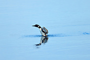 Common loon (Gavia immer) displaying on Klotz Lake<br />