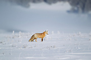 Red fox in snow during winter in Yellowstone National Park