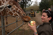 Zoo employee Feeding a Giraffe