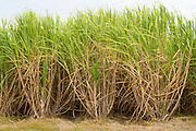 Sugarcane plants, raw sugar production on plantation in Louisiana, USA