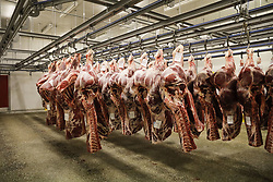 April 29, 2019 - Liege, Belgium - Illustration pcture shows carcasses of beef meat at the headquarters of Viande de Liege meat producers, in Liege, Monday 29 April 2019. Last week, supermarket chain Colruyt recalled several minced beef meat products of Viande de Liege, after the detection of the dangerous E-Coli-bacteria. The company claims the contamination happened at the slaughter house. (Credit Image: © Thierry Roge/Belga via ZUMA Press)