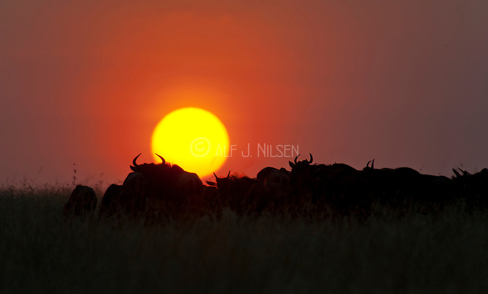 Woildebeests against the rizing sun in Maasai Mara, Kenya.