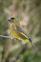 Greenfinch on bird feeder