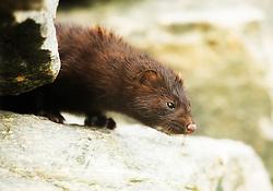 American Mink (Mustela vision) in Bergen, Norway