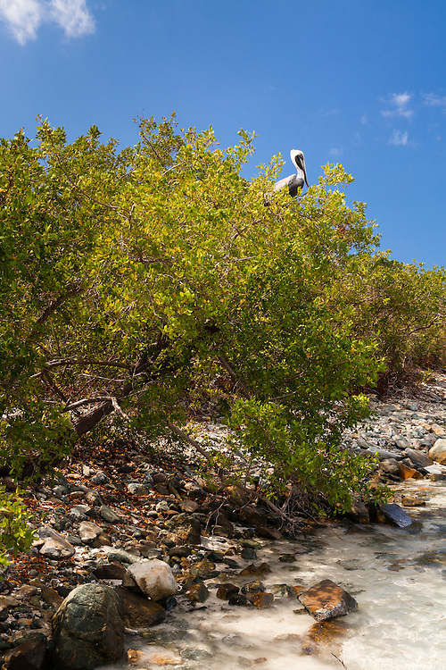 The Brown Pelican (Pelecanus occidentalis) can be found in coastal areas throughout the Americas. The smallest of all pelicans, he also dives for his food.