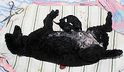 Female Poodle dog gives birth to a pup. This is one from a litter of six pedigree puppies born on July 12 2010