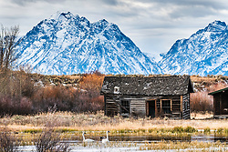 Elk Ranch in Grand Teton Park has seen better days but it may have never been prettier that today with after evolving into a weathered relic ripe for artist fodder. Swans still like living here.