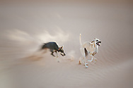Two Sloughi dogs (Arabian greyhound) run in the sand dunes in the Sahara desert of Morocco. Motion blur.