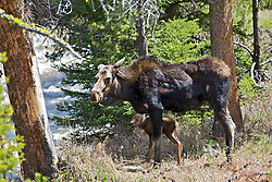 Moose cow and calf. This cow was attacked by wolves the previous day which triggered her into an early birth of her calf. She was health when attacked yet unhealthy with infection a week later when her and the calf were killed then consumed.
