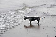 Nederland, Nijmegen, 24-8-2012Onze tekkel Teun staat nieuwsgierig aan de oever van de rivier de Waal, Rijn. Hij is niet bang voor water.Foto: Flip FRanssen/Hollandse Hoogte