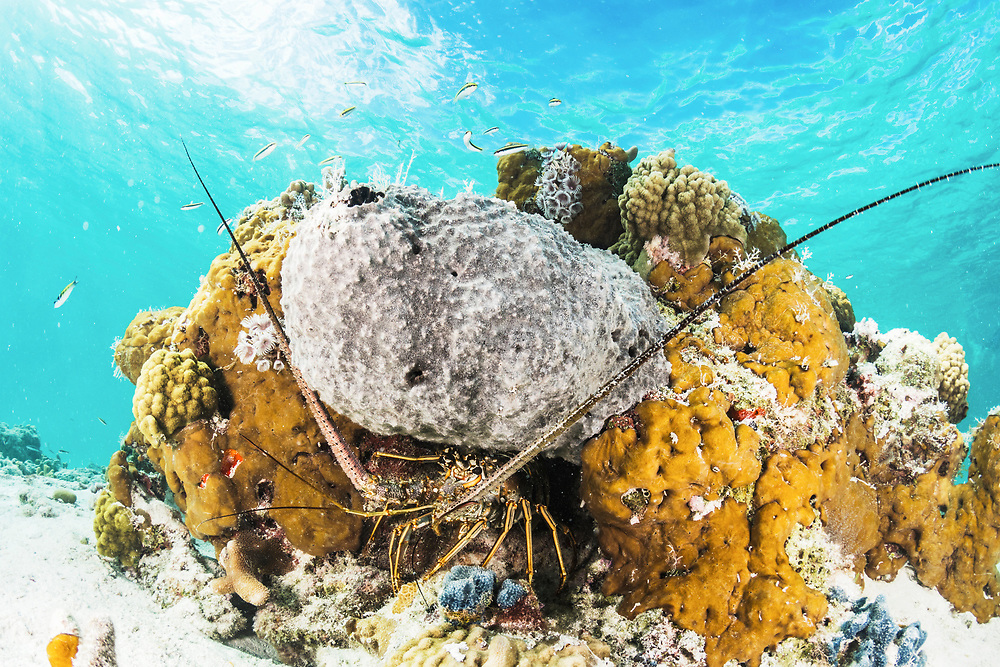 Rock lobster/Caribbean spiny lobster (Panulirus argus) hiding in a patch of coral reef and sponges. Image made off Eleuthera, Bahamas.