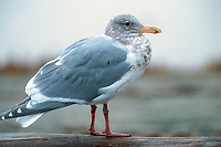 Glaucous-winged Gull (Larus glaucescens), Goose Spit, Vancouver Island, Canada   Photo: Peter Llewellyn
