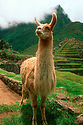 PERU, HIGHLANDS, ANDES MOUNTAINS a llama on the terraced fields at Machu Picchu, the Incan city above the Urubamba River Valley