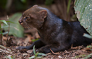 Jaguarundi          ©<br /> Herpailurus yaguarondi<br /> Amazoonico Animal Rescue Center<br /> Amazon Rain Forest<br /> ECUADOR.  South America<br /> Range: North, Central and South America. Texas south to S Brazil and Paraguay to 2,200 m elevation.